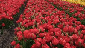 Spring flower field at the Netherlands. Spring blooming flower field at the Netherlands stock video footage