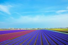 Spring flower field of purple hyacinths. The Netherlands flower Stock Photos