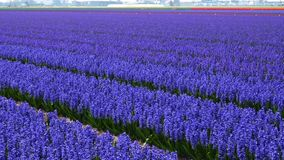 Spring flower field. At the Netherlands stock footage