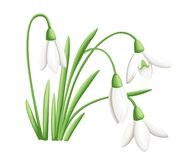 Spring flower. The first snowdrops Galanthus. Flowers for decoration. Vector illustration isolated on white background. Web site p. Age and mobile app design Stock Images