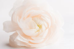 Spring flower Royalty Free Stock Image