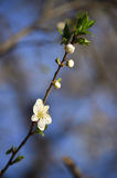 Spring flower. Fruit tree blossoming. Hapyy spring with flowers Stock Images