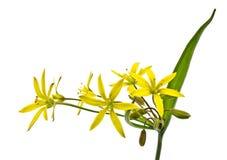 Spring flower (Gagea lutea) Stock Image