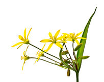 Spring flower (Gagea lutea) Stock Images