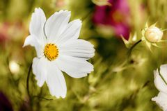 Spring flower in garden close up. Beautiful single white flower close up growing in a spring garden Royalty Free Stock Photography
