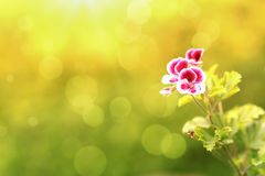 Spring flower in garden with shallow focus. And space for text royalty free stock photo