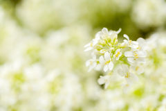 Spring flower in garden with shallow focus Royalty Free Stock Photo