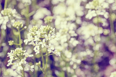 Spring flower in garden with shallow focus vintage tone. Spring flower in garden with shallow focus and space for text in pastel retro colors royalty free stock photography