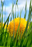 Spring flower in grass Stock Photo
