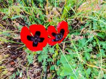 Spring flower and green grass in the yard in suny day. Close up shot  poppy.  Stock Images