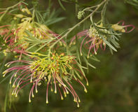 Spring flower grevillea winpara gem shrub Stock Images