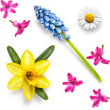 Spring flower heads. Of daffodil, hyacinth, muscari and daisy collection isolated on white background Stock Images