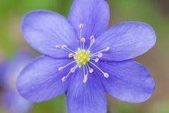 Spring flower Hepatica Nobilis macro top view Stock Photography