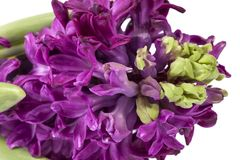 Spring flower of Hyacinth, magenta color on white background, close up.  stock image