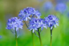 Spring flower HYACINTHOIDES ITALICA Stock Photography