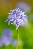 Spring flower HYACINTHOIDES ITALICA Stock Photo
