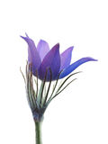 Spring flower isolated on a white background. Royalty Free Stock Photography