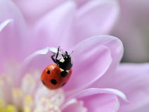 Spring flower with ladybird Stock Photo
