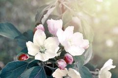 Spring flower landscape. Spring blooming apple flowers. Focus at the central flower stock photography