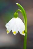 Spring flower of Leucojum vernum Stock Photography