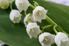 Spring flower a lily of the valley Stock Photos