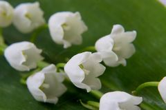 Spring flower a lily of the valley Stock Photo