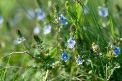 Spring flower - little blue flowers Stock Photo