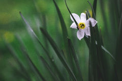 Spring flower. Lonely spring daffodil closeup on a green background Stock Image