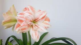 Spring flower macro hippeasrum. Bloom season garden stock photos