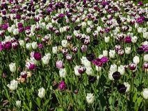 Spring flower meadow - tulip field Royalty Free Stock Images