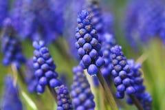 Spring flower - Mscari Stock Images