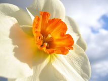Spring flower - narcissus Stock Image