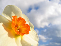 Spring flower - narcissus Royalty Free Stock Images