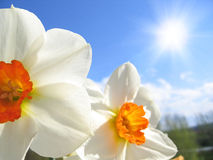 Spring flower - narcissus Stock Images