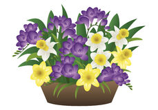 Spring flower - narcissus and freesia Stock Photos