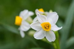 Spring flower narcissus Stock Photography