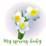 Spring flower narcissus for newborn Stock Photos