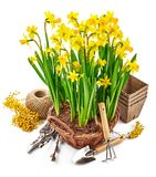 Spring flower narcissus in wicker basket Royalty Free Stock Photos