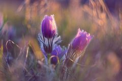 Spring flower. Nature with meadow and sunset. Seasonal concept for springtime. Beautifully blossoming pasque flower and sun with a. Natural colored background stock photos