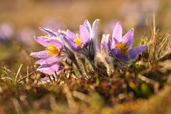 Spring flower. Nature - meadow and sunset. Seasonal concept for springtime. Beautifully blossoming pasque flower and sun with a royalty free stock images