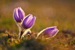 Spring flower. Nature - meadow and sunset. Seasonal concept for springtime. Beautifully blossoming pasque flower and sun with a stock image