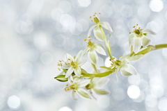 Spring flower ornithogalum and bokeh Royalty Free Stock Photography