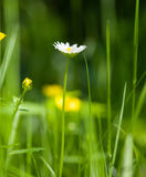 Spring flower over green field. Blurry green background and some yellow flowers Stock Images