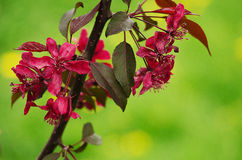 Spring flower paradise apple outdoors Royalty Free Stock Image