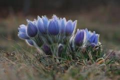 Spring flower Pasqueflower- Pulsatilla grandis Stock Image