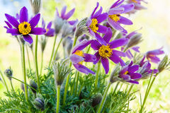 Spring flower Pasqueflower Stock Photography