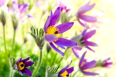 Spring flower Pasqueflower Royalty Free Stock Photography