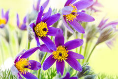 Spring flower Pasqueflower Stock Image