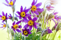 Spring flower Pasqueflower Royalty Free Stock Photos