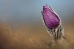 Spring flower Pasqueflower- Pulsatilla grandis Royalty Free Stock Photos